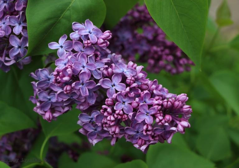 сирень Вудланд Блю (Woodland Blue)
