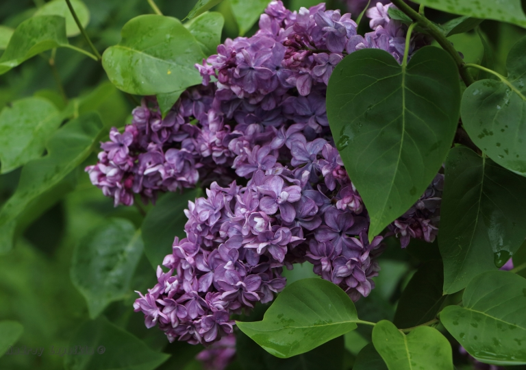 сирень Виолетта (Violetta)