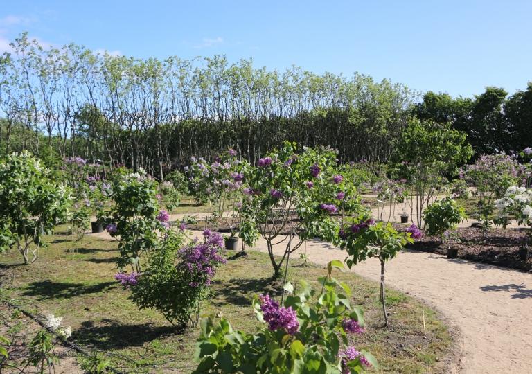 Питомник и сиреневый сад Уле Хайде, Дания 2016 год