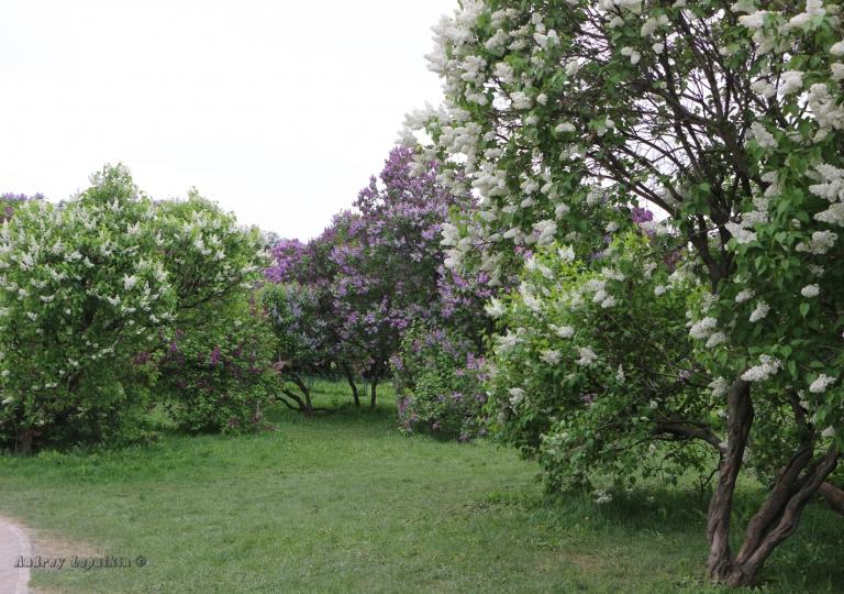 Сиреневый сад на Щёлковском шоссе, Сад Колесникова